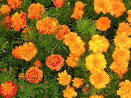 1854 – Marigolds Hide The Sins Of Cashel's Stolen Sovereigns