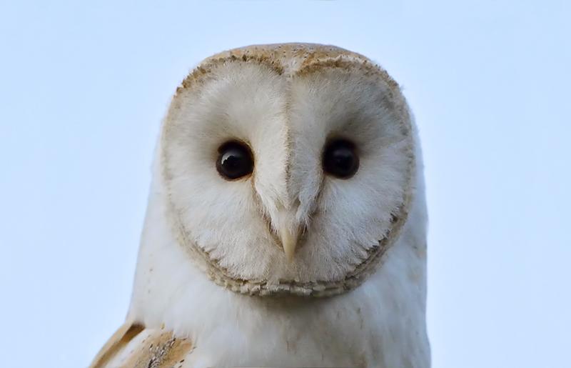 Barn Owls In Tipperary – Mon. 26 Feb – Halla Na Féile, Cashel